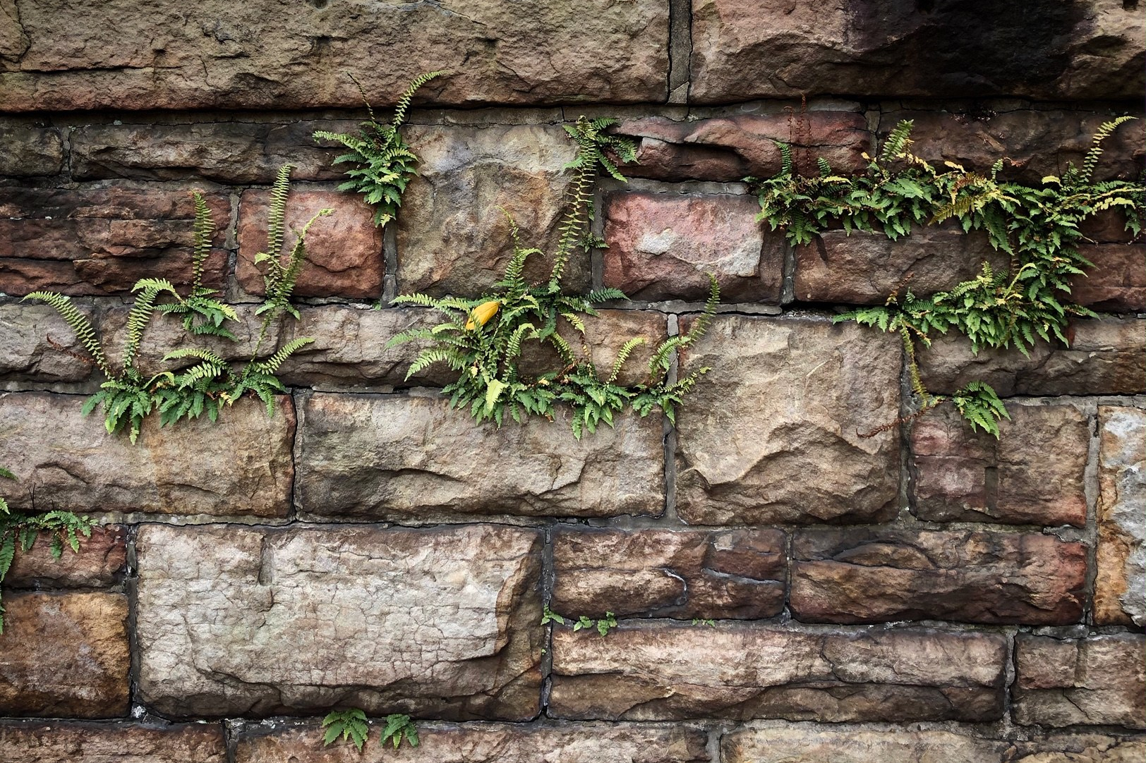 Ferns growing on a stone wall